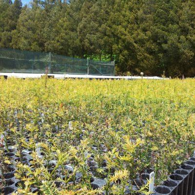 Redwood tree breeding program