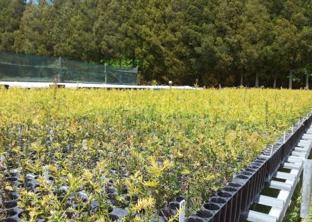 Redwood tree breeding program